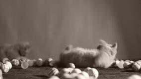 Kattunge som spelar med bollar stock video