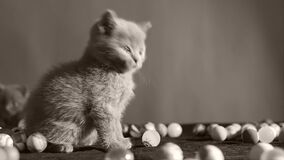 Kattunge som spelar med bollar arkivfilmer