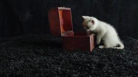 Kattunge som spelar med en träask stock video
