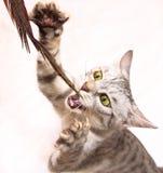 Kattunge som spelar med fjädern Royaltyfri Foto