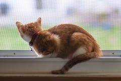 Kattunge som ut ser fönstret Arkivbild