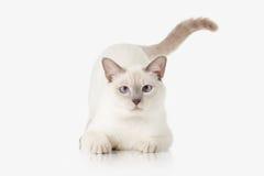 Kattunge Thailändsk katt på vitbakgrund arkivbild