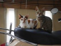 kattunge två Arkivbild