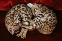 Kattunge yin-Yang royaltyfri fotografi