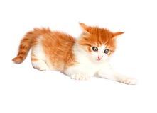 Kattungekatt på vit Arkivfoto
