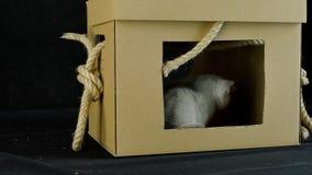 Kattungelek med en kartong stock video