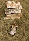 Kattungen av den Bengal aveln spelar i torrt gräs arkivbilder