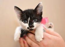 Kattungen gömma i handflatan in Royaltyfria Bilder