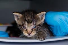 Kattungen med bindhinneinflammation på den veterinär- kliniken royaltyfria foton