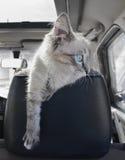 Kattungen sitter på bilen Royaltyfri Bild
