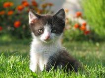 Kattungen sitter på en grön gräsmatta och ser in i kameran Royaltyfria Foton