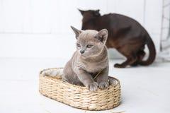kattungen som grå färger föder upp, burmesen, sitter i en vide- korg Nästa leksak som virkas i form av frukt spelrum med lampa arkivbild