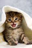 Kattunge som stängs i handduk Fotografering för Bildbyråer