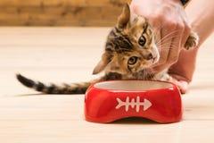 Kattungen undervisas att äta från en bunkemat för katter arkivfoton