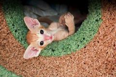 Kattungen vek dess tafsar royaltyfri fotografi