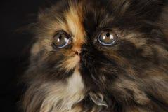kattungeperserstående Royaltyfri Fotografi