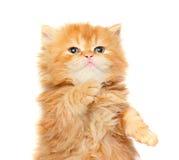 kattungered Royaltyfri Fotografi