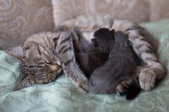 Kattungesömnar efter henne matning för moder` s royaltyfria bilder