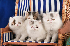 Kattungesammanträde för fyra perser i en solstol royaltyfria foton
