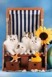 Kattungesammanträde för fyra perser i en solstol royaltyfri bild