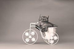 Kattungesammanträde i en cykelblomkruka Arkivfoto