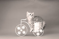 Kattungesammanträde i en cykelblomkruka Arkivbilder