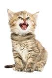 Kattungesammanträde och jamar Royaltyfri Bild