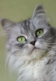 kattungestående royaltyfri foto