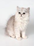 kattungewhite arkivbilder