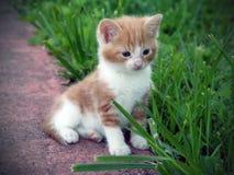 kattungeyellow Arkivfoto