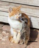 Kattvänner Arkivbild