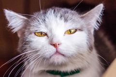 Kattväsande ljuden, gapar, grinar Tysta ned den stora katten Stående Du kan se huggtänderna, tänderna Stor katt, grått, fluffigt  royaltyfri foto