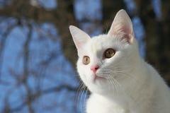 kattwhite Fotografering för Bildbyråer