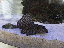 Katvisancystrus bij de bodem van het aquarium stock fotografie