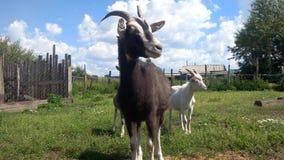 Katya nomeado cabra Fotografia de Stock Royalty Free