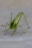 Katydid或布什蟋蟀 库存图片