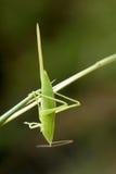 Katydid若虫 库存图片