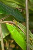 katydid μίμηση φύλλων Στοκ εικόνες με δικαίωμα ελεύθερης χρήσης