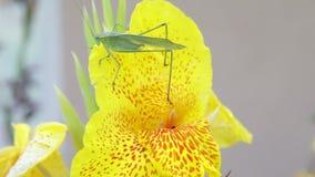 Katydid με τη μέλισσα που προκύπτει από μέσα από το λουλούδι απόθεμα βίντεο