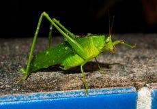 katydid ванны Стоковые Изображения