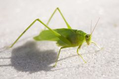 Katydid Royalty Free Stock Photography