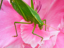 Katydid. Close up of a green katydid grasshopper on a pink flower Stock Image