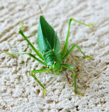 Katydid Royalty Free Stock Images