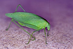Katydid Royalty Free Stock Image