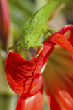 Katydid Fotografie Stock Libere da Diritti