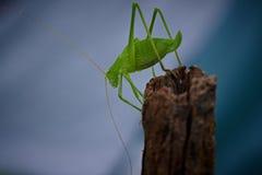 绿色katydid 免版税库存图片