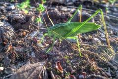 katydid стоковые изображения rf