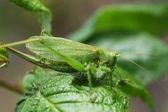 katydid Royaltyfria Bilder