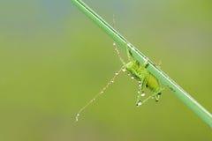 小绿色katydid 库存图片