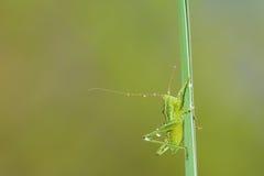 小绿色katydid 免版税库存图片